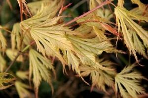 Acer palmatum Ghost Dancer     2 - Year Graft