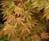 Acer palmatum Higasayama 4 - Year Graft - 2