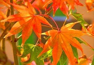 Acer palmatum Hogyoku   4 - Year Graft