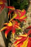 Acer palmatum Hogyoku   4 - Year Graft - 2