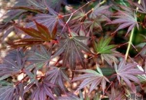 Acer palmatum Inazuma   1 - Year Graft