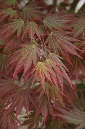 Acer palmatum Johin  1 - Year Graft