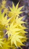 Acer palmatum Ki Hachijo 3 - Year Graft - 1