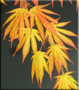 Acer palmatum Killarney  1 - Year Graft