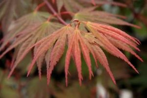 Acer palmatum Kinran     3 - Year Graft