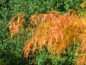 Acer palmatum Kinshi 1 - Year Graft