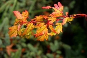Acer palmatum Koshimino   3 - Year Graft