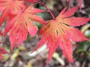 Acer palmatum Muro Gawa 1 - Year Graft