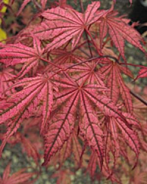 Acer palmatum Olsens Frosted Strawberry 2- Year Graft