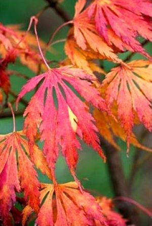 Acer palmatum Omurayama  3 - Year Graft