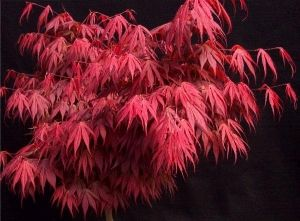 Acer palmatum Oregon Sunset 1 - Year Graft