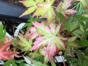 Acer palmatum Ori Zuru  1 - Year Graft