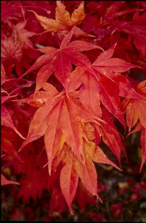 Acer palmatum Oshio Beni  3 - Year Graft