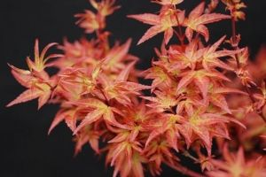 acer palmatum Otaha  2 - Year Graft