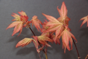Acer palmatum Peaches and Cream  1 - Year