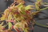 Acer palmatum Peaches and Cream  2 - Year - 1