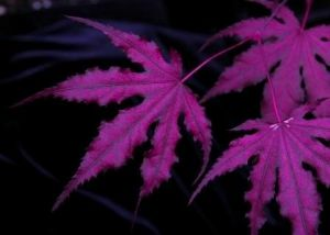 Acer palmatum Purple Ghost     3 - Year Graft