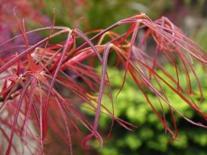 Acer palmatum Red Pigmy   1 - Year Graft