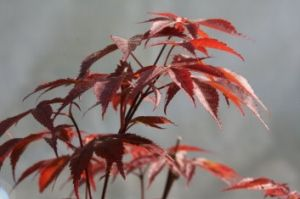 Acer palmatum Rhode Island Red 2 - Year Graft