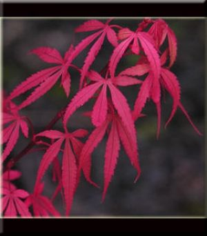 Acer palmatum Royle 1 - Year Graft