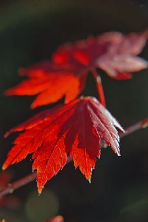 Acer palmatum Ruby Ridge 2 - Year Graft