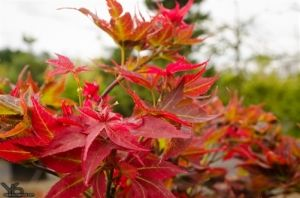 Acer palmatum Ruby Star 1 - Year Graft