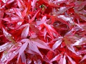 Acer palmatum Shaina  2 - Year Graft
