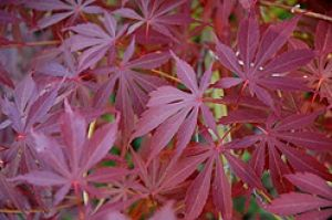 Acer palmatum Sherwood Flame 1 - Year Graft