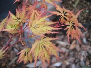 Acer palmatum Shigure Bato 2 - Year Graft