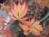 Acer palmatum Shigure Bato 2 - Year Graft - 1