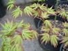 Acer palmatum Shigure Bato 2 - Year Graft - 3