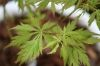 Acer palmatum Shigure Bato 2 - Year Graft - 4