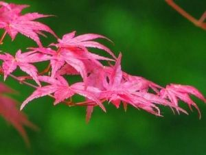 Acer palmatum Shindeshojo     1 - Year Graft