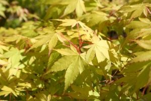 Acer palmatum Summer Gold 1 - Year Graft