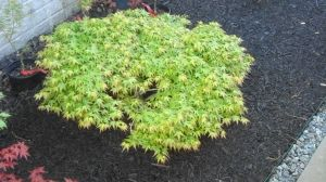 Acer palmatum Tama Hime 1 - Year Graft