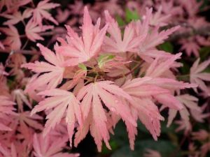 Acer palmatum Taylor  2 - Year Graft