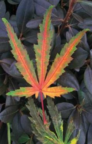 Acer palmatum Tiger Rose   3 - Year Graft