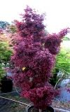 Acer palmatum Twombleys Red Sentinel 1 - Year Graft - 1
