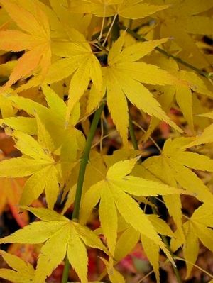 Acer palmatum Ukon 1 - Year Graft