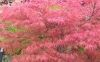 Acer palmatum Watnong 1 - Year Graft - 1