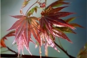 Acer palmatum Wattez    1 - Year Graft