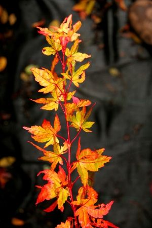 Acer palmatum Winter flame    1 - Year Graft