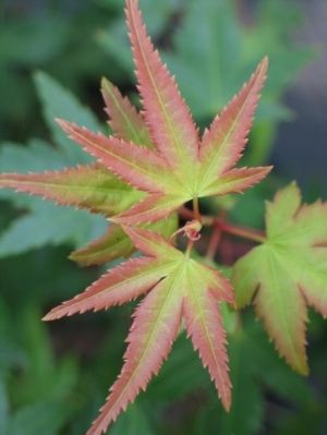 Acer palmatum Yama Hime 2 - Year Graft