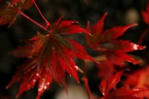 Acer palmatum Yasmine    2 - Year Graft