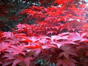 Acer palmatum Yubae   1 - Year Graft