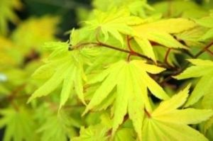 Acer shirasawanum Aureum     1 - Year Graft