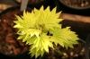 Acer shirasawanum Aureum     1 - Year Graft - 1