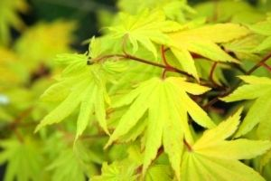 Acer shirasawanum Aureum    2 - Year Graft
