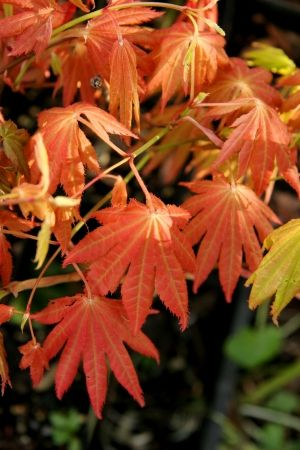 Acer shirasawanum Autumn Moon     2 - Year Graft