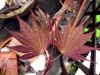 Acer shirasawanum Red Dawn  2 - Year Graft - 1